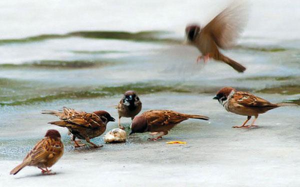 Chim sẻ có thể bay với vận tốc 38km/h và tăng tốc lên 50km/h nếu cần thiết.