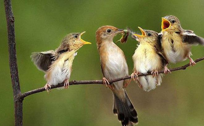 Chim sẻ có thân hình mập mạp, lùn với bộ lông có màu nâu, đen, trắng