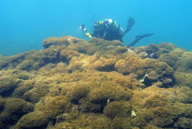 Đây là loài có sức tàn phá cao với khả năng vượt qua toàn bộ các rạn san hô.