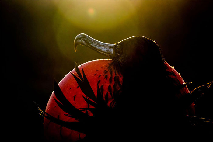 Chim cốc biển (Frigatebird)