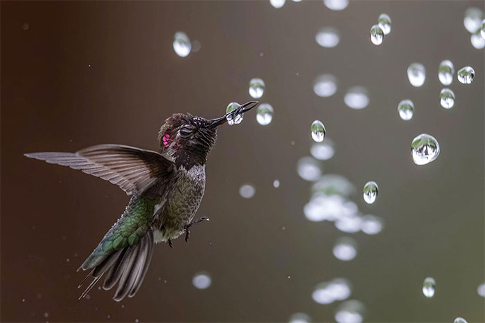 Chim ruồi Anna.