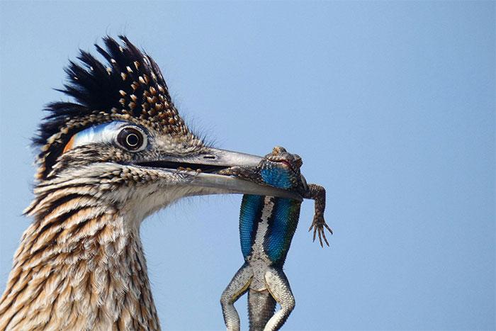 Chim chẹo đất lớn săn được con thằn lằn.