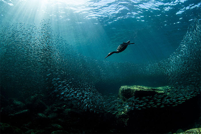 Chim cốc biển lặn săn cá mòi.