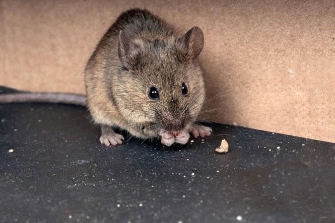 Chuột nhắt