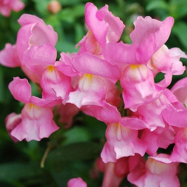 Hoa khi nở giống miệng con rồng đang há ra và sẽ hơi khép lại nếu bóp nhẹ.