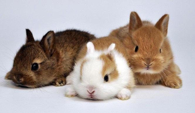 Thỏ nhà