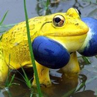 """Cánh đồng ở Ấn Độ bỗng xuất hiện đàn ếch màu vàng chóe kỳ dị """"mọc"""" lên ồ ạt như nấm sau mưa"""