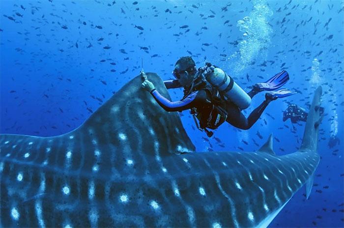 Cá mập voi khổng lồ sinh con như thế nào? - Ảnh minh hoạ 2