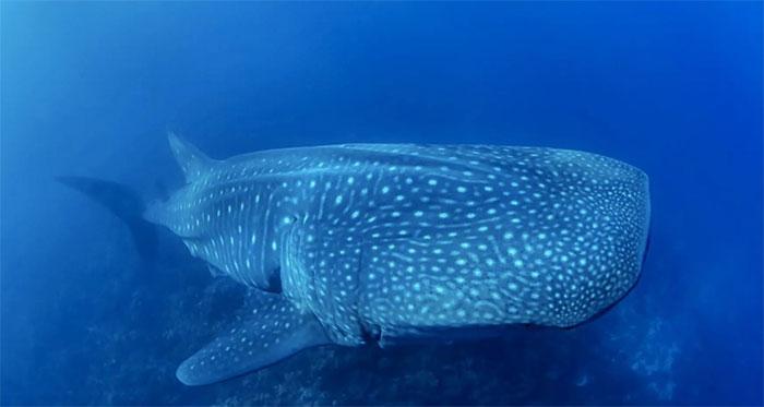 Cá mập voi khổng lồ sinh con như thế nào?