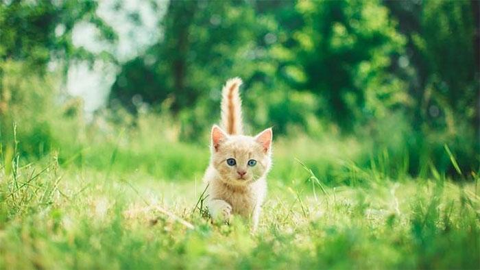 Hóa ra từ hơn 1000 năm trước, loài mèo đã tìm cách quyến rũ chúng ta