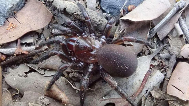 Một con nhện Cryptoforis hughesae cái ở Brisbane.