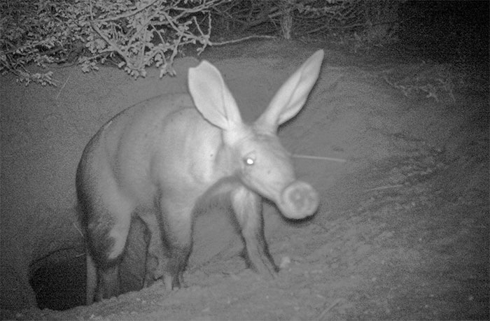 Bẫy ảnh chụp một con lợn đất rời khỏi hang để kiếm ăn vào ban đêm.