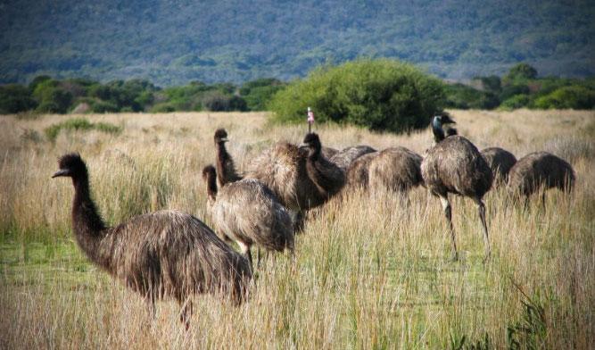 Bầy đà điểu trên cánh đồng lúa mì ở miền Tây Australia.