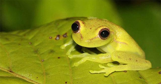 Giải mã làn da xanh ở loài ếch