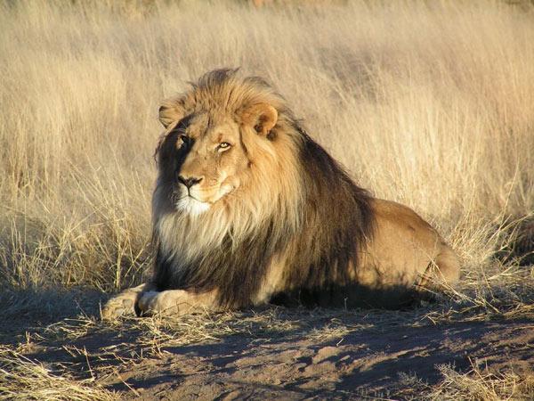 1 Con sư tử đực châu Phi có thể dài đến 2,5 m và nặng 272 kg