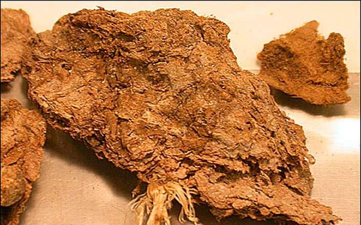Cục phân 14.000 năm tuổi.