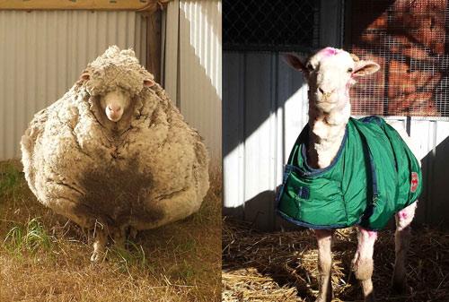 Nếu không được con người cạo lông thì liệu lũ cừu sẽ tự xử lý lông của nó như thế nào?