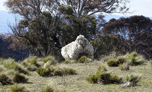Bộ lông dày không được cắt tỉa khiến một con cừu Merino như Chris