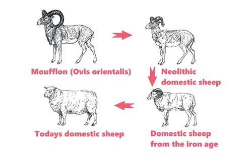 Cừu được con người thuần hóa từ khoảng 11.000 - 9.000 năm trước công nguyên