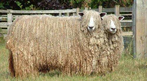 Những giống nuôi lấy lông đa phần chỉ phù hợp môi trường nông trại bởi chúng đã được lai tạo để có bộ lông phát triển quanh năm