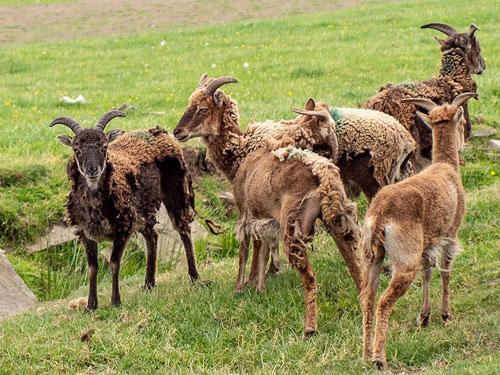 Giống cừu Soay với bộ lông sẫm màu đặc trưng, tự thay lông