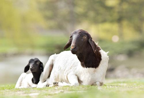 Nhiều giống cừu được lai tạo để chỉ cho thịt và sữa thành ra bộ lông của chúng không phát triển như cừu Merino