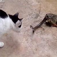 """Cậy có cóc """"bảo kê"""", mèo khoang tát rắn độc nảy đom đóm mắt"""