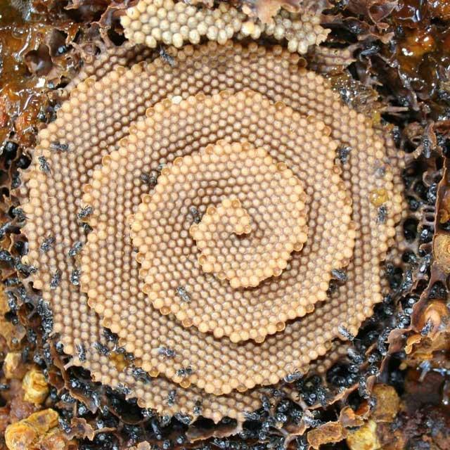 Những con ong quan sát tính toàn vẹn cấu trúc của các khoang hiện tại để tìm ra nơi đặt những khoang mới.