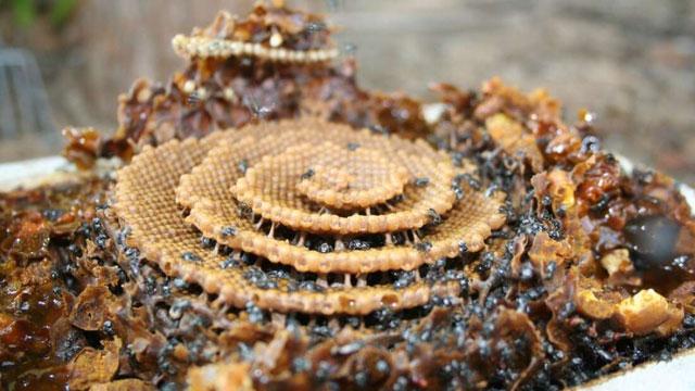 Tổ của loài ong Tetragonula.