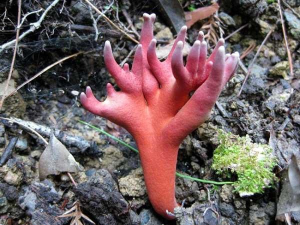 Bàn tay tử thần là loài nấm cực độc