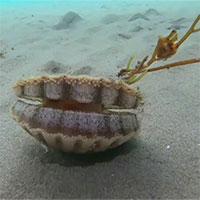 Sò biển bơi cực điệu nghệ giữa lòng đại dương