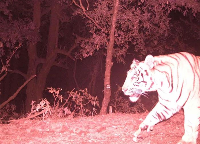 Hổ Nepal