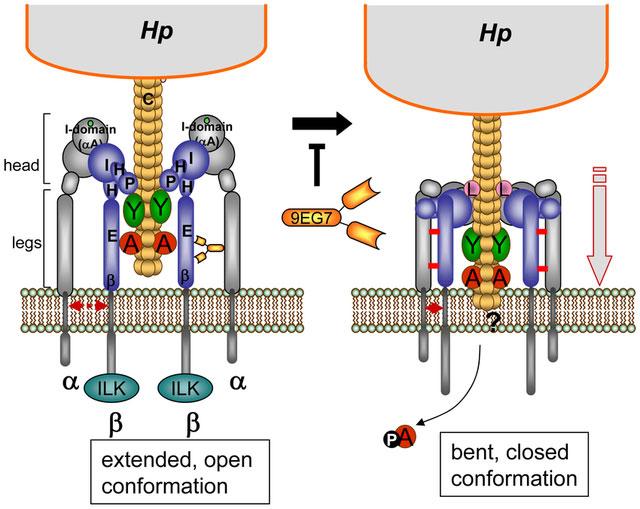 Hệ thống Cag T4SS bơm protein gây ung thư vào tế bào dạ dày