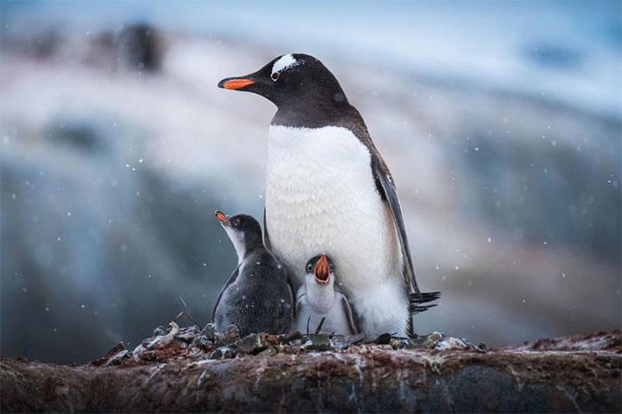 Một con chim cánh cụt Gentoo mẹ bên cạnh hai con non của mình.