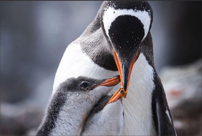 Mỗi con chim cánh cụt Gentoo mái đẻ 2 quả trứng, mỗi quả khoảng 500 gram.