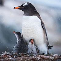 Cuộc sống hàng ngày của những con chim cánh cụt ở Nam Cực