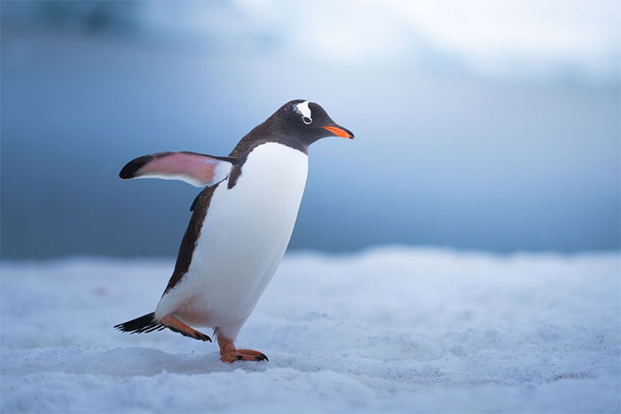 Tôi yêu động vật, và làm sao mà bạn có thể không yêu chim cánh cụt chứ