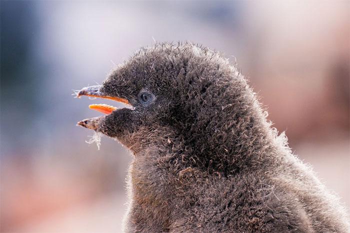Một con chim cánh cụt Adelie non