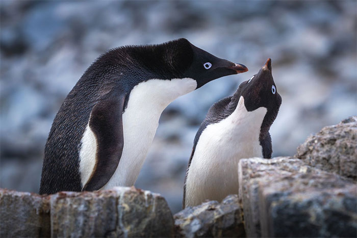 Cấu trúc xã hội của loài này cũng rất phức tạp, con đực cần mang một hòn đá tới để làm quen với con cái.