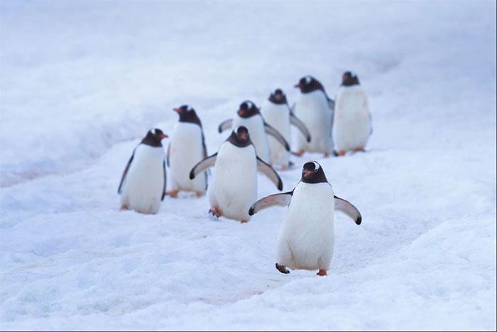 Chim cánh cụt có đường cao tốc riêng nối khu vực trú ẩn và bờ biển