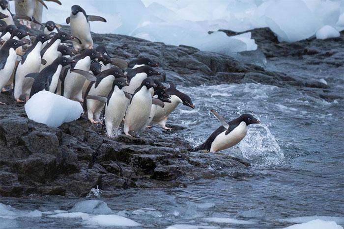 Một nhóm các con chim cánh cụt Adelie xếp hàng nhảy xuống nước.
