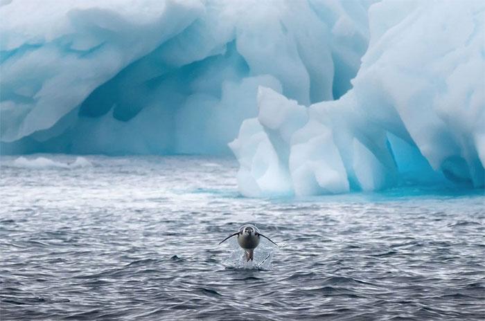 Một con chim cánh cụt Gentoo (2 vệt trắng trên mắt) nhảy khỏi mặt nước.