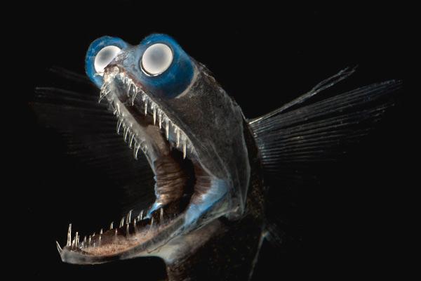 Một con cá mắt thùng