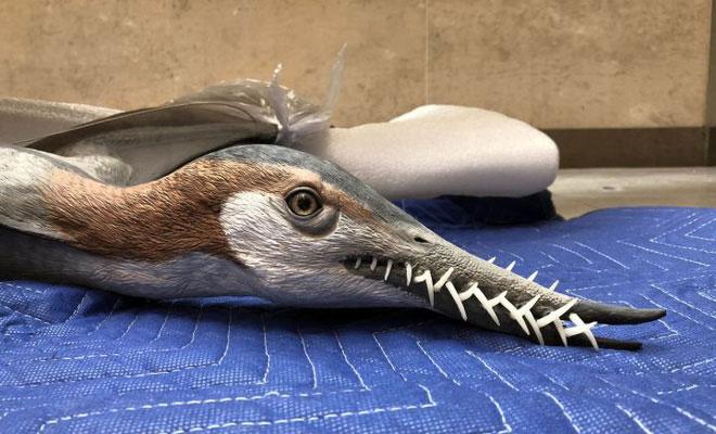 Mô hình nhân tạo đầu của loài thằn lằn bay Rhamphorhynchus.