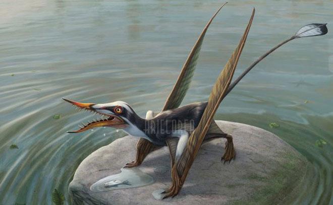 Điểm dễ nhận dạng nhất của loài này là đuôi dài với chóp đuôi hình kim cương.