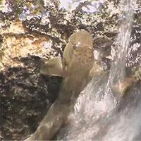 Bí mật về loài cá kỳ lạ có thể leo vách đá cao hàng chục mét