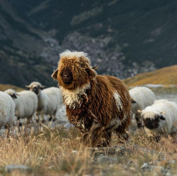 Con cừu với màu lông độc nhất vô nhị