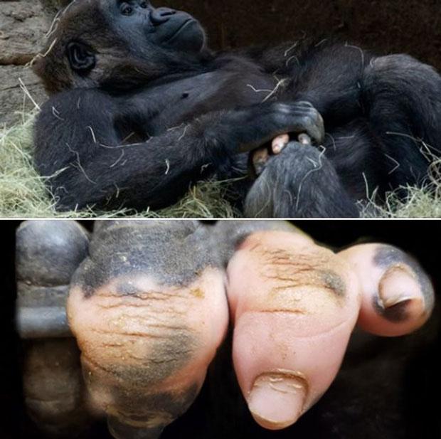 Khỉ có ngón tay y hệt con người