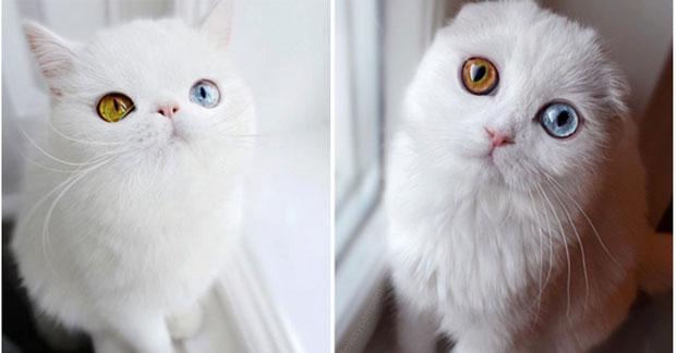 Mèo 2 màu mắt đã nhìn vào sẽ đắm chìm không thoát ra được