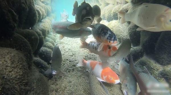 Dưới cống rãnh tại một ngôi làng (Nhật Bản), hàng chục chú cá bơi lội khỏe khoắn